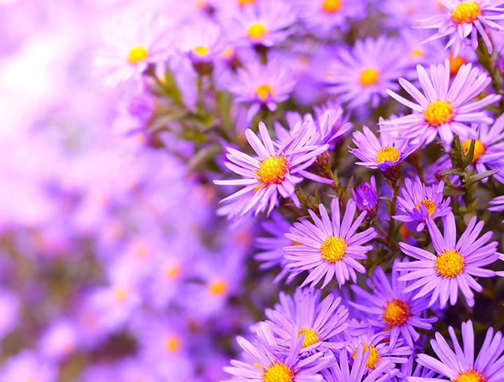 Aster d'automne
