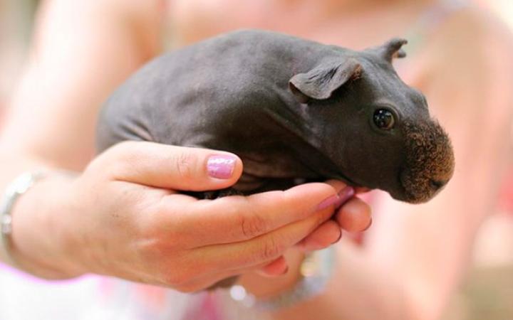15. Wanneer je een cavia scheert, ziet hij er een beetje uit als een nijlpaardje.