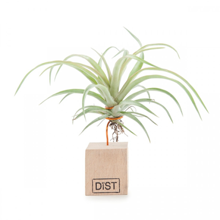 Green Lifestyle-kamerplant tillandsia airplant
