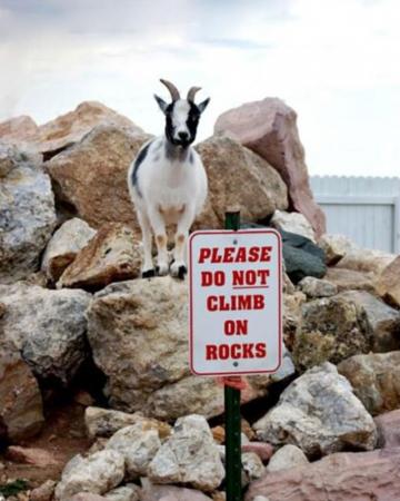 5. Een rebellerende geit.