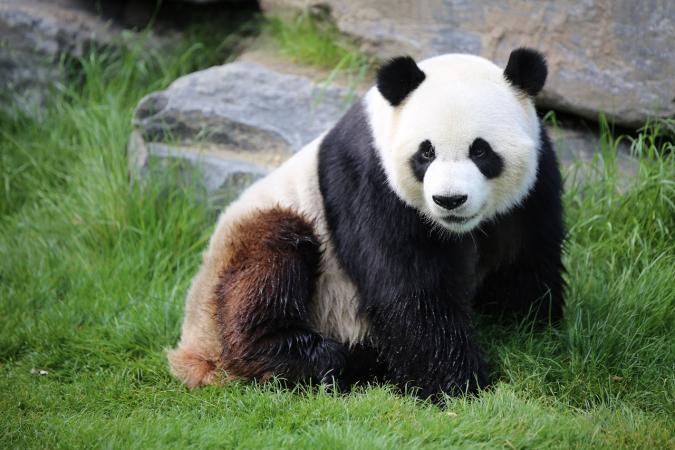 Aller faire un coucou aux pandas de Pairi Daiza
