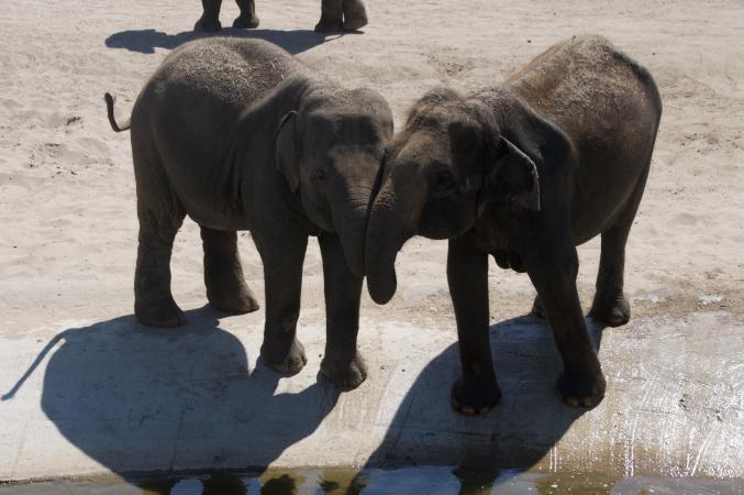 Bain de l'éléphant avec son mahout