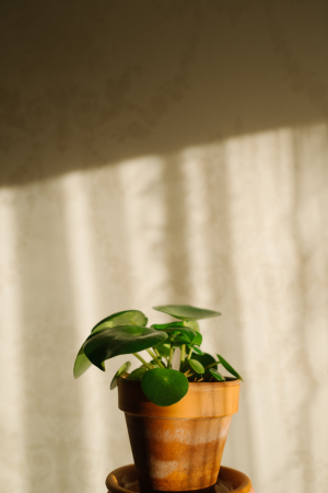 Pilea (pannenkoekplant)