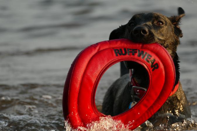 Professionele hondengeleider