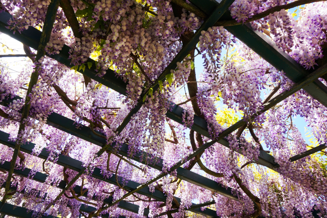 Wisteria Flower Tunnel