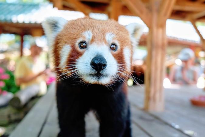 Comment ne pas tomber sous le charme de la jolie frimousse du panda roux?