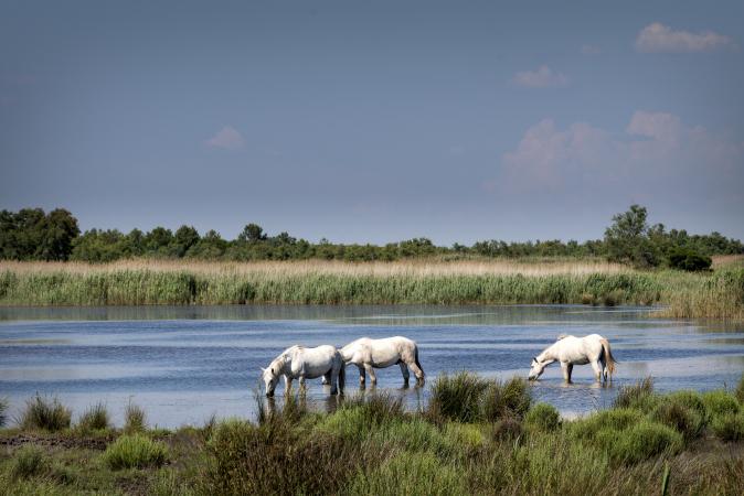 Wilde paarden zoeken in Frankrijk