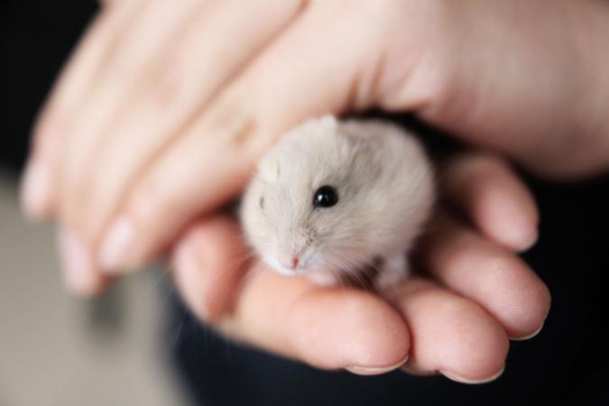 Stier (21/04 – 21/05): een hamster