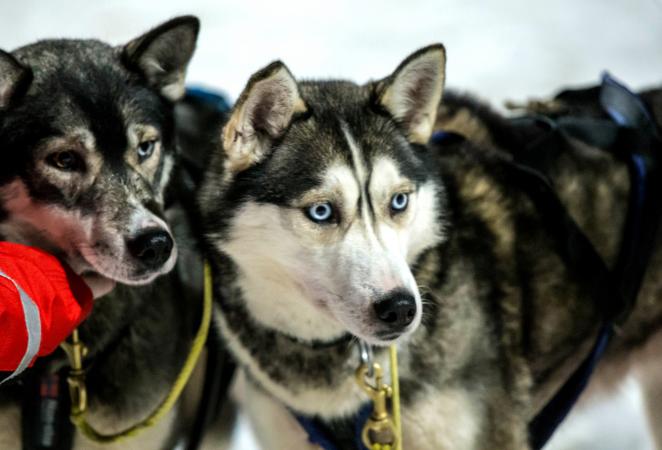 7. Chien Eskimo Canadien – De 800 à 7 950 euros