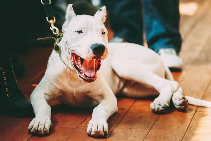 9. Dogue argentin – De 800 à 7 300 euros