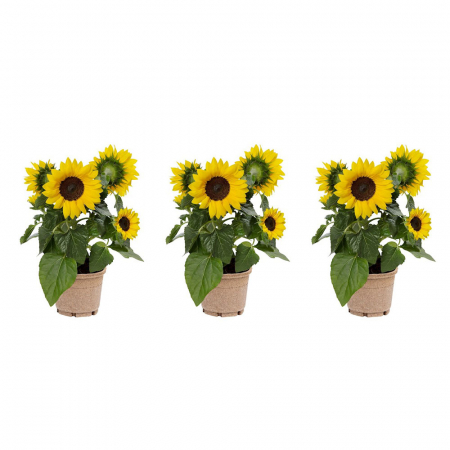 Set van drie potzonnebloemen