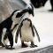 5. Pinguïns blijven hun leven lang bij dezelfde partner.