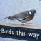 6. Deze duif doet haar eigen goesting.
