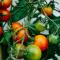 Onrijpe tomaten