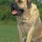 De mastiff