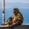 Wilde aapjes zien op Gibraltar