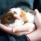 Steenbok (22/12 – 20/01): een huiscavia