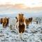 De authentieke IJslandse paarden