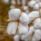 Le coton biologique