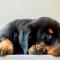 6. Rottweiler – De 350 à 8 175 euros