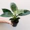 Plant Philodendron Birkin