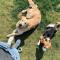Beagle Ollie en golden retriever Ludo