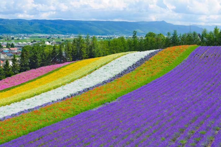 Les champs de lavande de Furano au Japon