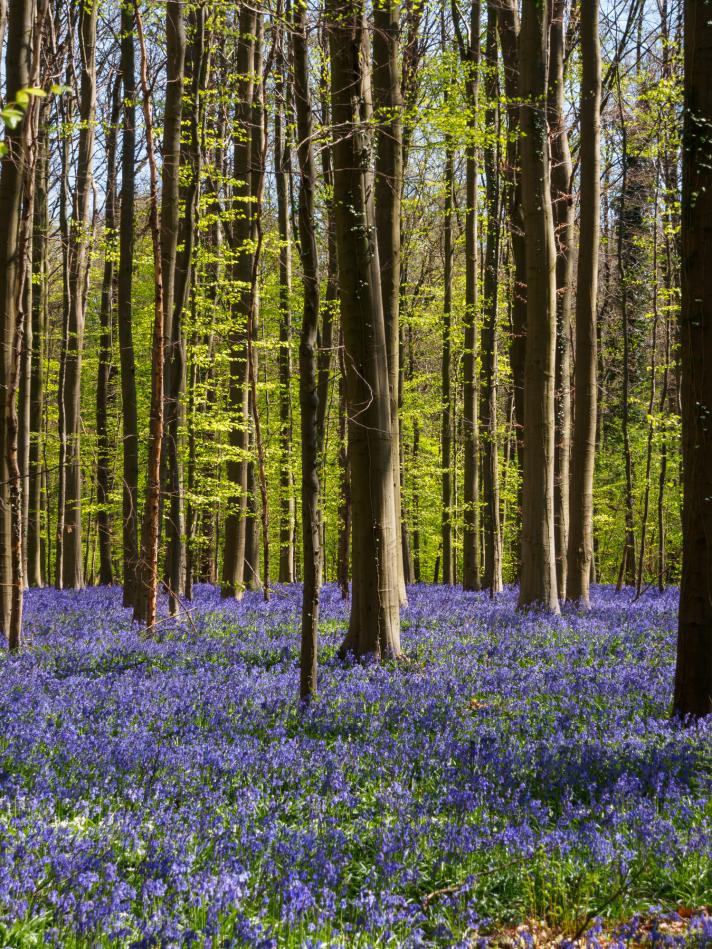 Le bois de Hal, la forêt enchantée