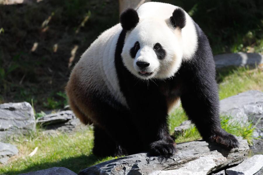 panda Pairi Daiza