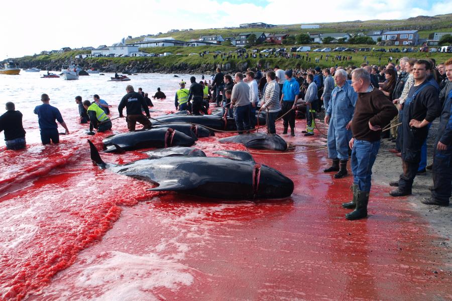 îles Féroé baleines dauphins