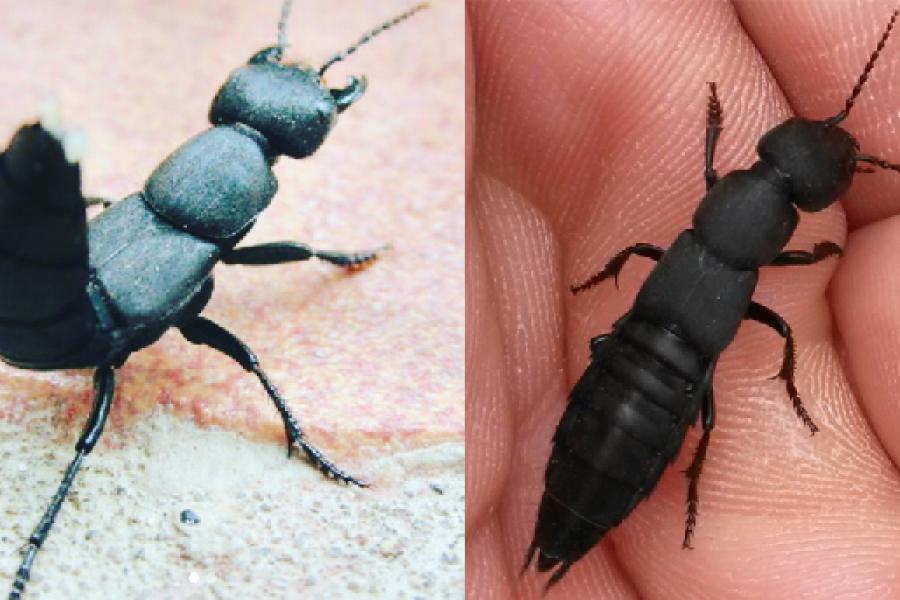 Le Staphylin L Insecte Flippant Qui Rentre Dans Nos Maisons