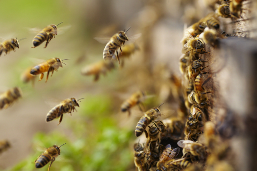 graines abeilles