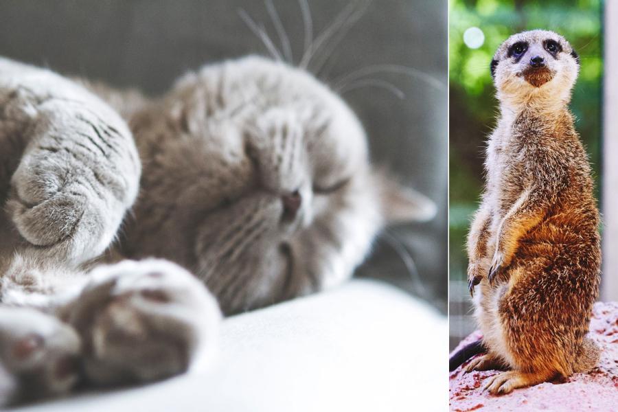 stokstaartje en kat