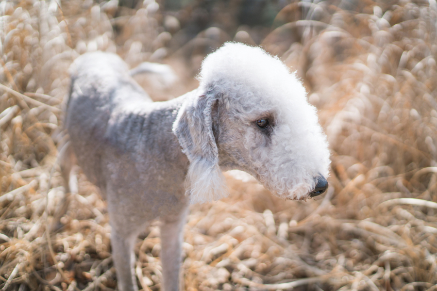 On a repéré 10 races de chiens hypoallergènes- Getty Images - Bedlington Terrier