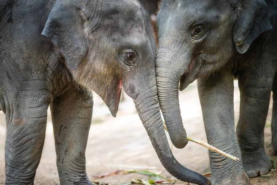 Le Coronavirus a du bon pour les éléphants de Thaïlande - Getty Images
