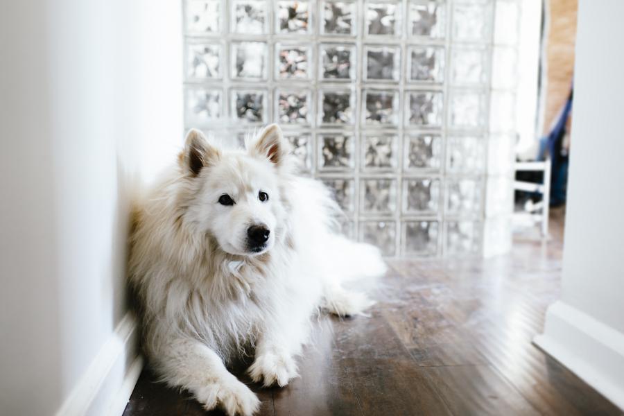 Les races de chien les plus chères - Getty Images