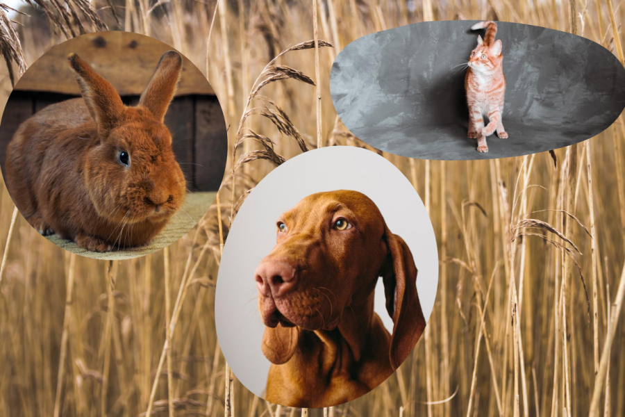 12 animaux de compagnie roux sublimes - Montage Flair - Photos Getty Images