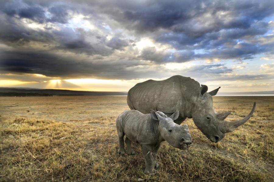 Rhinocéros du parc Kruger Getty Images