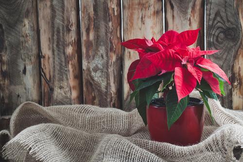 Plante De Noel Comment Prendre Soin De Votre Poinsettia Femmes D