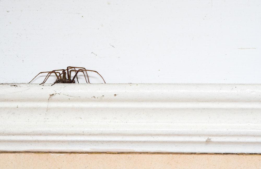 8 r pulsifs naturels pour loigner les araign es de la. Black Bedroom Furniture Sets. Home Design Ideas
