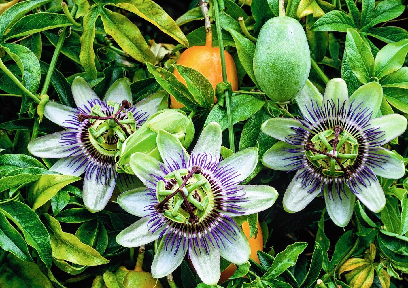 Arbre Fruitier En Pot Interieur verger exotique: les arbres fruitiers à cultiver dans votre