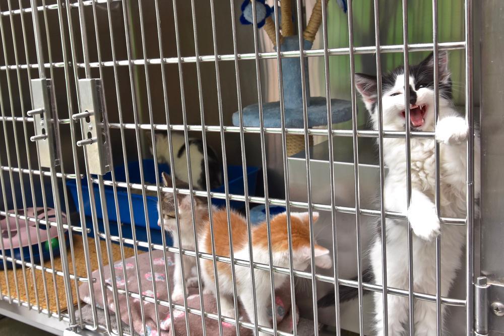 In dierenasiel De Grensstreek wachten poezen op een nieuwe thuis.