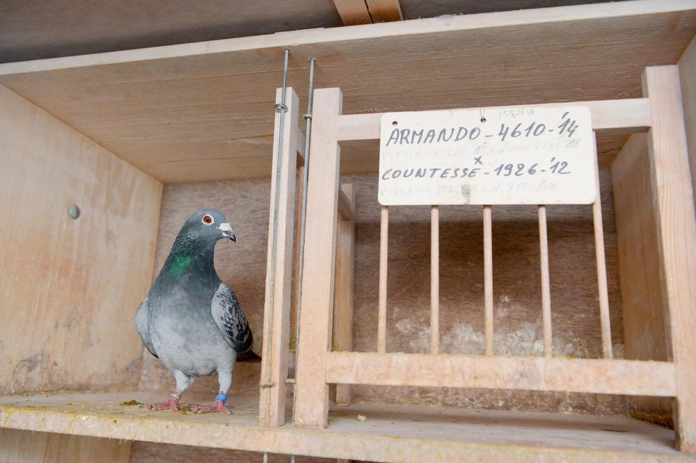 West-Vlaamse topduif op weg om duurste duif ooit te worden: nu al bod van 400.000 euro
