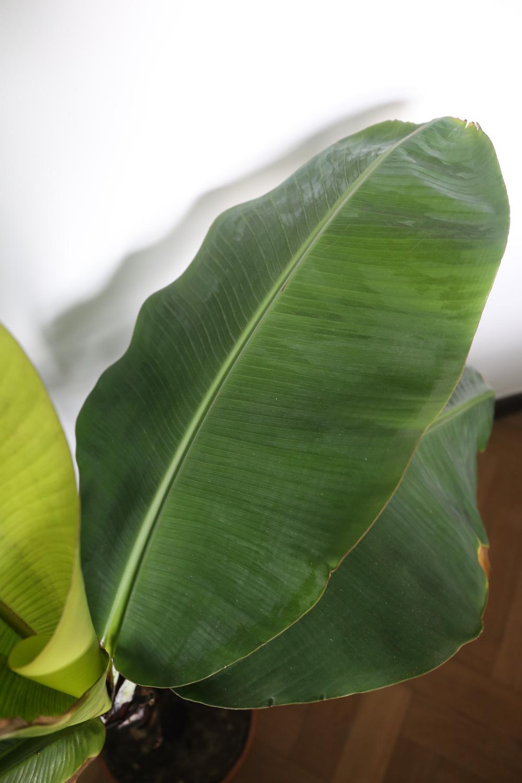 Tropische vibes met de bananenplant