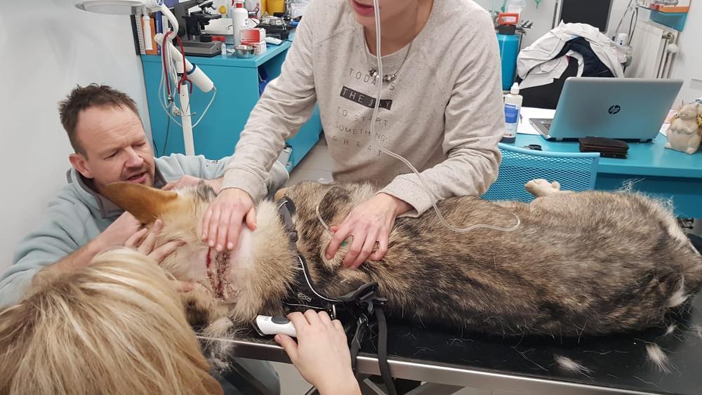 De illegale vossenklem veroorzaakte een grote wonde aan de nek van de wolfhond.