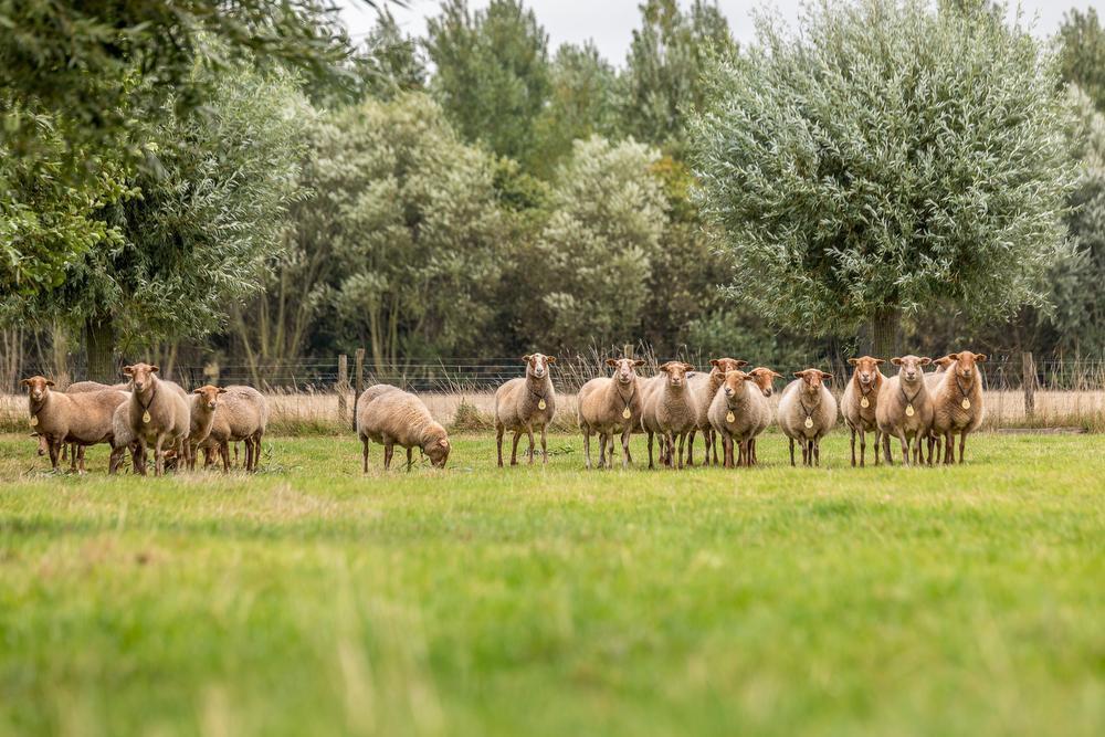 Oude dierenrassen grazen op West-Vlaamse 'levende erfgoedhoven'