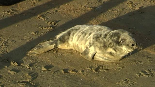 Zeehondje aangespoeld op strand van Oostduinkerke