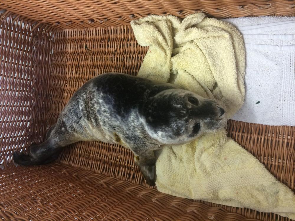 De zeehondenpups worden momenteel nog niet te water gelaten.