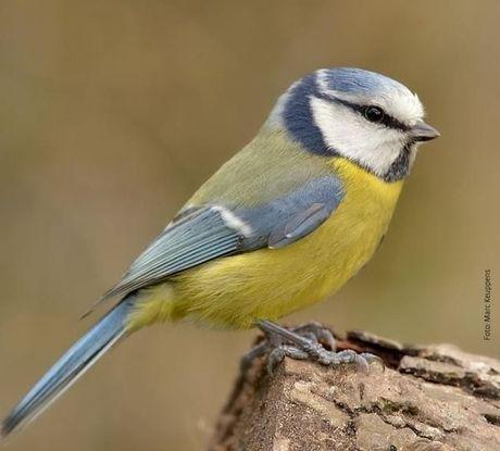 10 vogels om naar uit te kijken tijdens het vogeltelweekend