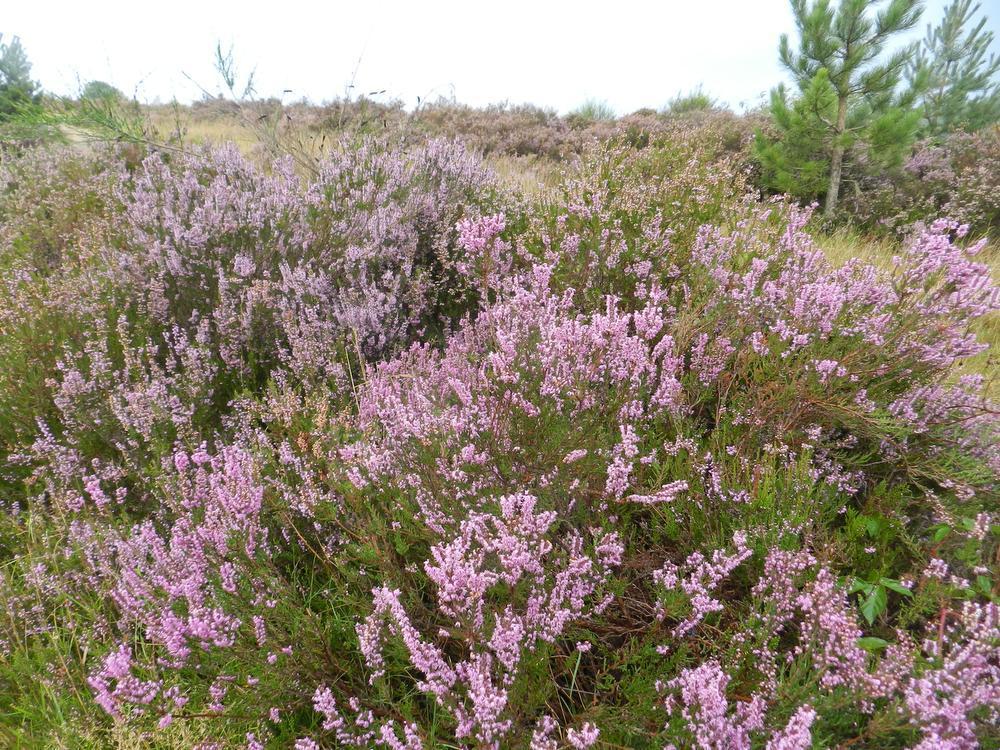 De Mechelse Heide kleurt paars in september.